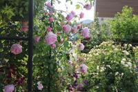 スピリットオブフリーダムのシャワー - my small garden~sugar plum~
