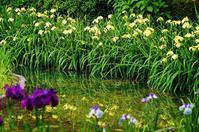 城北公園菖蒲園(1) - たんぶーらんの戯言