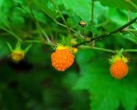 ウリノキの花と虫色々 - 星の小父さまフォトつづり
