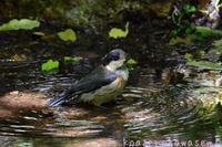 ヤマガラ幼鳥 - 気ままな生き物撮り