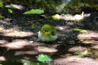 メジロ幼鳥 - 気ままな生き物撮り