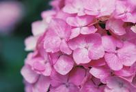 しっとりピンク紫陽花 - photomo