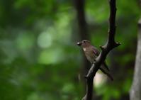 2018.6.9 夏鳥の総括にはまだ早い? オオルリ - 野鳥・つばさ@信州安曇野