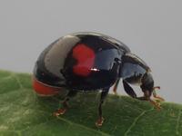 ナミテントウHarmonia axyridisとダンダラテントウMenochilus sexmaculatus - 写ればおっけー。コンデジで虫写真