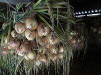 玉ねぎ・ニンニク・キャベツに蛍 - 南阿蘇 手づくり農園 菜の風