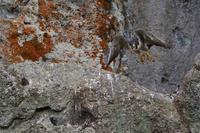 ハヤブサの飛び出し - サンヨン片手に自然散策