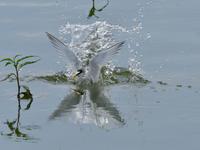 コアジサシの離水シーン - サンヨン片手に自然散策