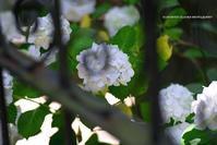 紫陽花 北鎌倉に咲く2018 - くにちゃん4@撮影散歩