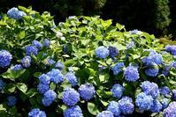 三景園の紫陽花 - できる限り心をこめて・・Ⅲ