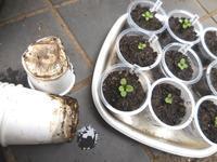 ビオラ紙コップで種まきしたら - ヨガと官足法で素敵生活
