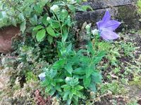 桔梗 - だんご虫の花
