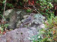 イソヒヨドリの幼鳥 - 白壁荘だより  天城百話