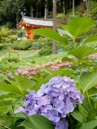 みやこの紫陽花寺(Temple de l'Hortensia en Kyoto) - ももさへづり*やまと編*cent chants d'une chouette (Yamato*Japon)