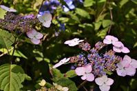 紫陽花を見に行ってきました。 - バードカラー