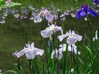 平安神宮神苑の花菖蒲 - 彩の気まぐれ写真