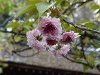 平野神社の遅咲きの桜 - 彩の気まぐれ写真