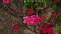 庭の花々 @福島県石川町 - 963-7837