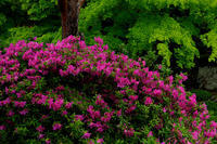 ツツジと新緑の美(青蓮院門跡) - 花景色-K.W.C. PhotoBlog
