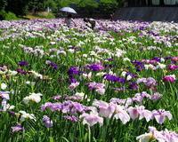花しょうぶ園は花盛り - 星の小父さまフォトつづり