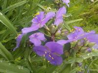 紫ツユクサ - 冬青窯八ヶ岳便り