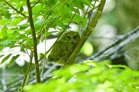 オオコノハズク幼鳥・・・その① - 四季の予感