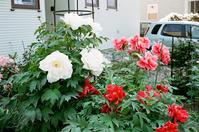 住宅街リハビリ散歩で見かけた牡丹とヒナ草 - 照片画廊