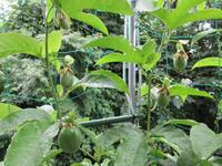 パッションフルーツ 2018 雨の日の受粉効率を上げる - にゃんてワンダホー!