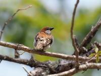 ニュウナイスズメ活き活きの奥日光 - コーヒー党の野鳥と自然 パート2