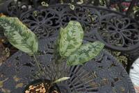 "Schismatoglottis sp. '公国軍迷彩' ""Selangor"" - PlantsCade -2nd effort"