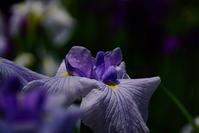 庭園の花菖蒲とお花畑とレノファ山口 - kogomiの気ままな一コマ