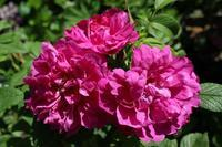 来週6月12日(火)は産経学園「素敵にローズライフ」です。 - バラとハーブのある暮らし Salon de Roses