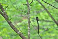 サンコウチョウとキビタキ - 瑞穂の国の野鳥たち