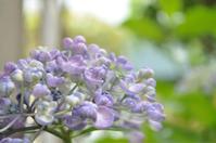 おたふく(紫陽花)と、、、 - ヒトリゴトゴハン