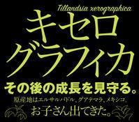 キセログラフィカに子株できたよ♡ - お料理王国6