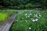 蓮華寺池公園の花菖蒲 - やきつべふぉと