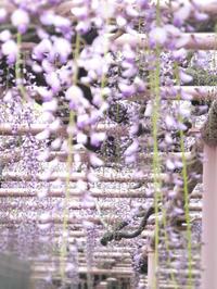 wisteria -  小さじいっぱいのたいよう