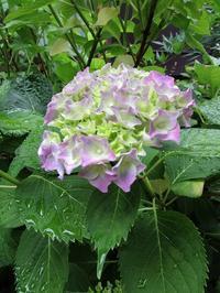 今朝の紫陽花 - ごまめのつぶやき