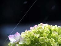 アジサイ ☆テレパシー - 夢・ファンダンゴ