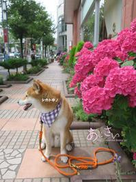 三越カラーの紫陽花 - yamatoのひとりごと