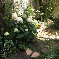 梅雨の晴れ間、2018のアナベル - Mayumin's rose garden&table 小さな秘密の花園で