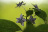 *紫陽花* 雨の森林植物園にGO! - 静かな時間