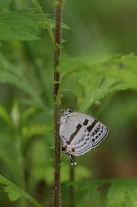 朝の散歩でゼフ5種を観察 - 蝶超天国