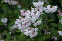 城北公園花菖蒲園に咲く更紗空木(サラサウツギ) - たんぶーらんの戯言