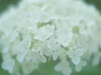 昭和記念公園の紫陽花1 - 光の音色を聞きながら Ⅲ