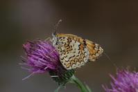 絶滅から守る - 蝶と蜻蛉の撮影日記