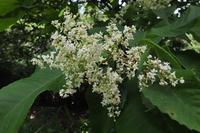 ■樹の花 (2)18.6.11(アワブキ、アカメガシワ、ケンポナシ) - 舞岡公園の自然2