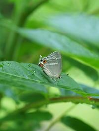 ヒロオビミドリシジミ再会 - 自然を楽しむ
