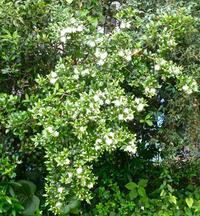花弁よりも長い雄しべが美しい,ギンバイカ - 楽餓鬼