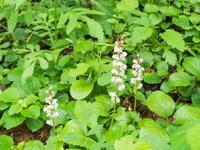 庭に自生している「ベニバナイチヤクソウ」が咲き始めました。 - 十勝・中札内村「森の中の日記」~café&宿カンタベリー~