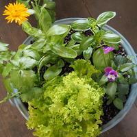 キッチンハーブの寄せ植え - sola og planta ハーバリストの作業小屋